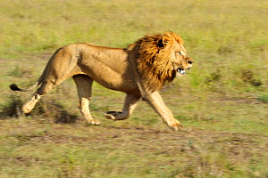 African lion (Panthera leo) male lion running, Masai Mara GR, Kenya, January - Andy Rouse