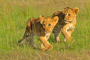 African lion (Panthera leo) two young cubs following mother, Masai Mara GR, Kenya, February  -  Andy Rouse