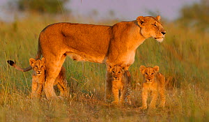 African Lion (Panthera leo) mother with young at sunrise (Notch's pride), Masai Mara GR, Kenya, February *Not available for print-on-demand until August 2015* - Andy Rouse