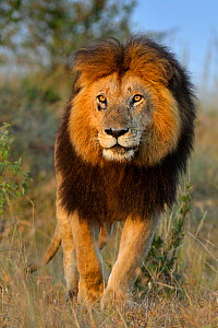 African Lion (Panthera leo) male lion, Notch from Disney African Cats film, Masai Mara GR, Kenya, February - Andy Rouse
