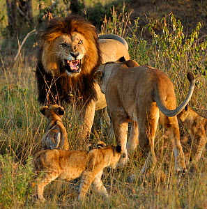 African Lion (Panthera leo) male lion greeting female and cubs, Notch from Disney African Cats film, Masai Mara GR, Kenya, February  -  Andy Rouse