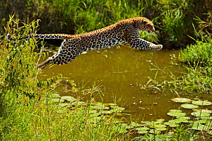 African leopard (Panthera pardus) leaping over water, Masai Mara GR, Kenya, January - Andy Rouse