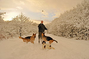 Man playing in deep snow with dogs (two German shepherds and a spaniel) on closed road on Caerphilly Mountain, Caerphilly, South Wales, UK, December 2010, Model released  -  Andy Rouse