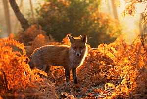 Red fox (Vulpes vulpes) in autumn woodland, UK, (non-ex) - Andy Rouse