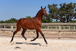 A purebred Lusitano colt (with his mane and tail cut to mark his first year) trotting in the arena at the Companhia das Lez�rias Stud Farm, Samora Correia, Santar�m, Portugal, July 2011 - Kristel Richard