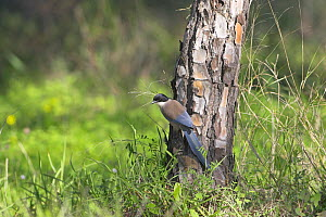 Azure winged magpie (Cyanopica cyanus) on tree trunk, Algarve Portugal  -  Mike Read