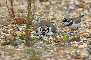 Little ringed plover (Charadrius dubius) adult change over at nest, Blashford Lakes WT Reserve, Hampshire, UK June  -  Mike Read
