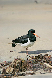 South island oystercatcher (Haematopus finschi) standing on one leg on shoreline, South Island, New Zealand, December  -  Mike Read