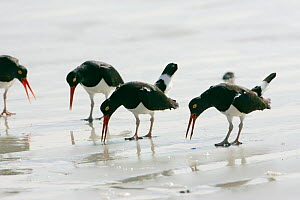 Magellanic oystercatchers (Haematopus leucopodus) group calling and displaying on beach, Falkland Islands  -  Mike Read
