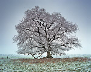 Oak (Quercus) covered with frost. Picardy, France.  -  Pascal Tordeux