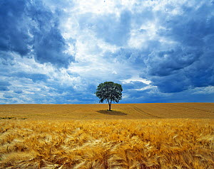 Lone Walnut (Juglans) tree in a field of barley. Picardy, France. - Pascal Tordeux