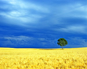Lone tree in a barley field. Picardy, France. - Pascal Tordeux