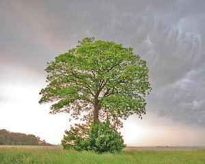 Lone Maple (Acer) in a field against cumulo-nimbus and mammatus clouds. Picardy, France, May.  -  Pascal Tordeux
