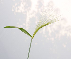 Barley (Hordeum vulgare) against sky. Picardy, France, April. - Pascal Tordeux