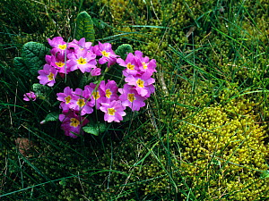 Cultivated Primula in flower.  -  Pascal Tordeux