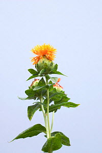 Safflower (Carthamus tinctorius). Picardy, France, July.  -  Pascal Tordeux