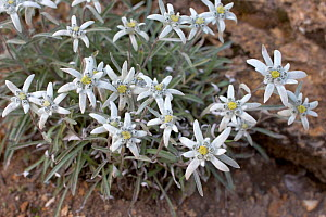 Edelweiss (Leontopodium alpinum) in flower. In august. French Alps, August.  -  Pascal Tordeux