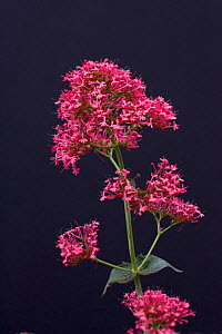 Red Valerian (Centranthrus ruber). Picardy, France, July. - Pascal Tordeux