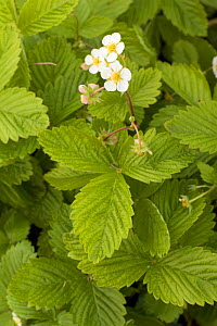 Wild Strawberry (Fragaria vesca) in flower. Picardy, France, July. - Pascal Tordeux