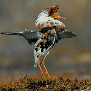 Ruff (Philomachus pugnax) male displaying, Varanger, Norway, May  -  Loic Poidevin
