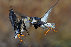 Ruff (Philomachus pugnax) two rival males displaying, fighting, Varanger, Norway, June  -  Loic Poidevin