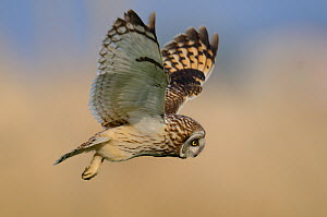 Short eared owl (Asio flammeus) in flight over marshland, Vendee, west France, April  -  Loic Poidevin