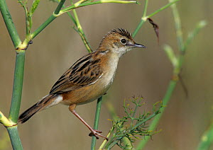 Fan tailed warbler (Cisticola juncidis) perched in marsh, Vendee, west France, August  -  Loic Poidevin