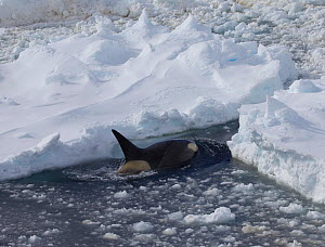 Killer whale (Orcinus orca) amongst thick pack ice, Antarctica. Taken on location for the BBC series, Frozen Planet. - Fred Olivier