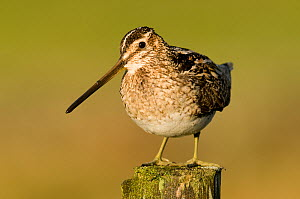 Snipe (Gallinago gallinago) portrait on fence post. Upper Teesdale, County Durham, England, UK, June. - Andy Sands