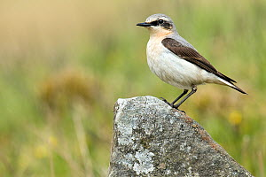 Wheatear (Oenanthe oenanthe) male perched on rock. Upper Teesdale, Co Durham, England, June. - Andy Sands