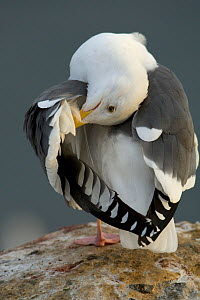 Western gull (Larus occidentalis) preening on rocks, Goldfish Point, La Jolla, California, USA, December - Tim Laman
