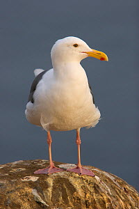 Western Gull (Larus occidentalis) perched on rocks, Goldfish Point, La Jolla, California, USA, December - Tim Laman