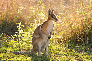 Bridled nailtail wallaby (Onychogalea fraenata) Queensland, Australia, Endangered species, October - Dave Watts