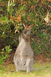 Bennett's wallaby, Tasmanian subspecies of Red-necked wallaby (Macropus rufogriseus) feeding on Acacia leaves, northern Tasmania, Australia, February  -  Dave Watts
