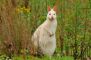 Bennett's wallaby, Tasmanian subspecies of Red-necked wallaby (Macropus rufogriseus) albino form, Bruny Island, Tasmania, Australia, January  -  Dave Watts