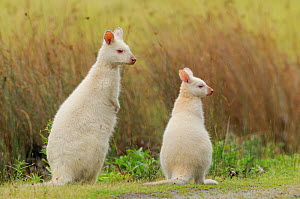 Bennett's wallaby, Tasmanian subspecies of Red-necked wallaby (Macropus rufogriseus) mother and joey, albino form, Bruny Island, Tasmania, Australia, January  -  Dave Watts