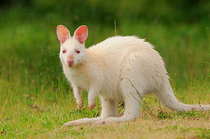 Bennett's wallaby, Tasmanian subspecies of Red-necked wallaby (Macropus rufogriseus) large joey, albino form, Bruny Island, Tasmania, Australia, January  -  Dave Watts