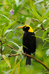 Regent bowerbird (Sericulus chrysocephalus) male perched, Lamington National Park, Queensland, Australia, October - Dave Watts