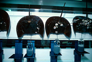 Scientists use technology to bleed Horseshoe Crabs (Limulus polyphemus) to extract blue, copper based blood, lysate, used in testing purity levels in various medicines. Woods Hole Oceanographic Instit... - Jeff Rotman