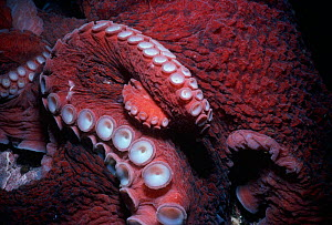 Close up of suckers on the tentacles of Giant Pacific Octopus (Enteroctopus dofleini) British Columbia, Canada, Pacific Ocean.  -  Jeff Rotman