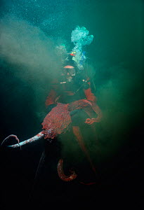 Giant Pacific Octopus (Enteroctopus dofleini) swimming, squirting ink at a diver, British Columbia, Canada, Pacific Ocean. Model released.  -  Jeff Rotman