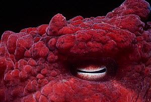 Close up of eye of Giant Pacific Octopus (Enteroctopus dofleini), British Columbia, Canada,  Pacific Ocean.  -  Jeff Rotman
