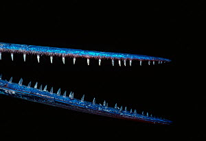 Close up of mouth and teeth of Red Sea needlefish (Tylosurus choram) Red Sea, Egypt  -  Jeff Rotman