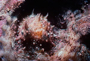 Benthic Octopus (Octopus rubescens) camouflaged on coral, Channel Islands, California, USA, Pacific Ocean  -  Jeff Rotman