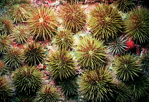 Green sea urchins (Stronglyocentrotus droebachiensiss) scavenging and grazing, USA, North Atlantic Ocean.  -  Jeff Rotman