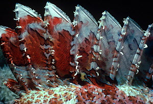 Poisonous dorsal spines of Tassled scorpionfish (Scorpaenopsis oxycephalus) Red Sea, Egypt - Jeff Rotman