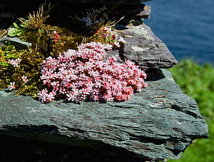 English Stonecrop (Sedum acre) flowering on the wall of a ruined house, Great Blasket Island, Co.Kerry, Ireland, June  -  Roger Powell