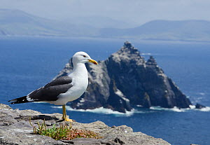 Lesser black-backed gull (Larus fuscus) on cliff with Little Skellig gannetry in the background, Great Skellig island, Co Kerry, Ireland, June 2011 - Roger Powell