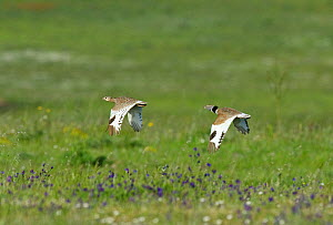 Little Bustard (Tetrax tetrax) male pursuing female who has just arrived on the lekking grounds,  Guerreiro, Castro Verde, Portugal, April  -  Roger Powell