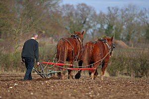 Traditional Horse ploughing, Gressenhall, Norfolk, UK, March 2010  -  Robin Chittenden